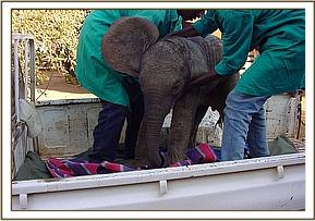 Selengai is transported from Wilson airport in the back of a pickup to the Nairobi Nursery