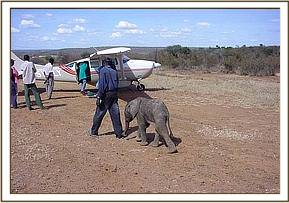 Selengai following her companion on Sosian Ranch airstrip up to the plane