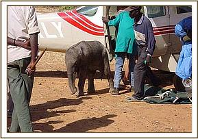 She waits by the plane while everything is prepared for her flight to the Nairobi Nursery