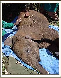 The elephant calf is placed onto the cavas stretcher