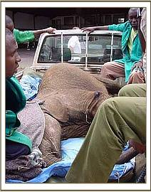 Once in Nairobi,the calf is transported to the Nairobi nursery still sedated
