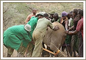 Community members help to capture and restrain the calf