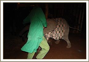 The elephant Keepers have a runaround in the night while trying to settle the newcomer