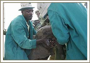 The Trust's Keepers feed the calf before loading her onto the plane