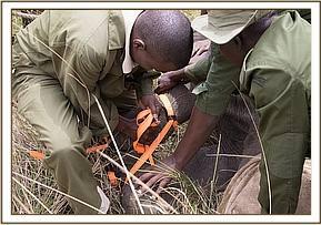 Sapalans Füße werden festgebunden