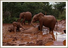 Luggard playing in the mud wallow