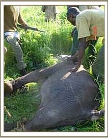 The DSWT Chyulu desnaring team rescue the calf