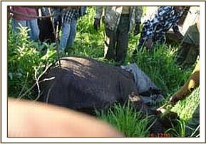Ele calf is rescued at Kenze village (10)