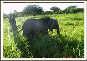 capturing the orphaned calf at Kenze village
