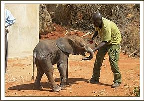 The young orphaned calf with a Voi keeper
