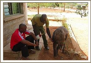 The young calf with a keeper and a KWS staff member