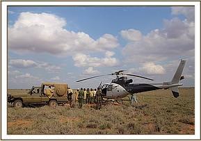 Vorbereitungen zum Einladen des Kalbs in den Hubschrauber