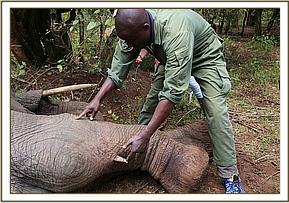 The vet examining the injured elephant