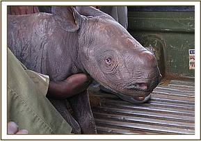 Maalim in the back of the KWS landrover at the Ngulia Rhino Sanctuary.