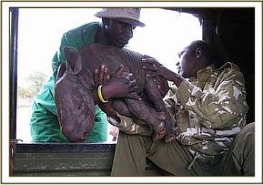 The KWS ranger who rescued the tiny abandoned Rhino calf hands Maalim over to Kingoo.jpg