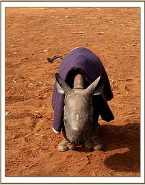 The tiniest rhino ever seen.jpg