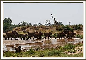 A herd of wild elephants cross the Ewaso Nyiro River
