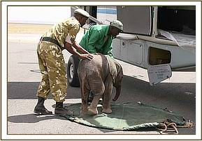 First the calf is prepared on the stretcher.jpg