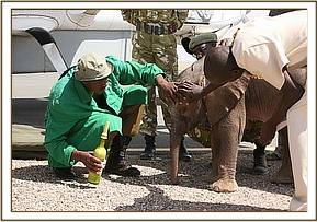 On arrival our Keepers are able to ensure he has a milk feed before his flight back to Nairobi.jpg