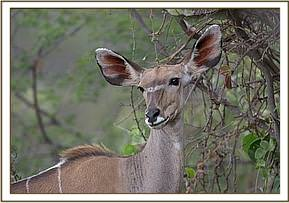 A female lesser kudu, photograph taken on Loisaba