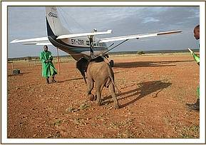 The calf with Emanuelle and the rescue plane.jpg