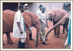 Ajok greeting his old nursery mates now down in Tsavo