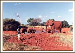 Eleanor supervizes the Tsavo herd with Ajok in their midst