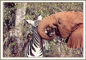 The zebra gets a hug from Ajok