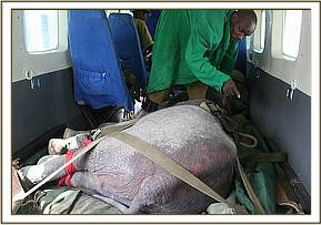 Shira strapped in for take off, the wound on her back very evident.jpg