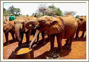 Ukame with her new orphan herd in Nairobi