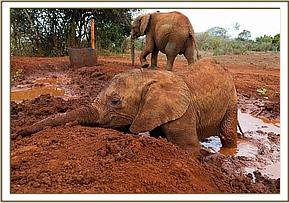 Enjoying a mud bath