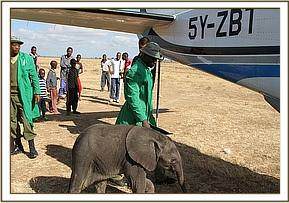 The orphan is led closer to the plane in order to load the baby