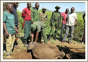 The captured calf and its rescuers
