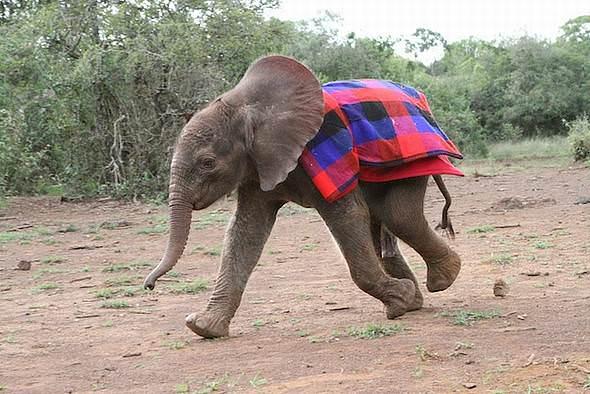 Male ♂ African Bush elephant Barsilinga at David Sheldrick Wildlife Trust Ithumba