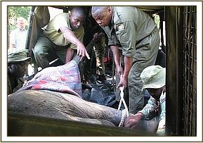The calf is loaded into the landcruiser pickup.jpg