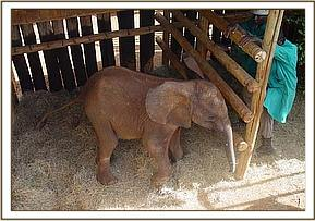 Once in a stockade at the Nairobi Nursery the Keepers began the difficult task of taming him