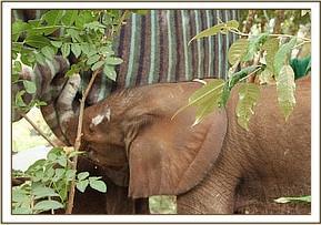Kauro kuschelt sich an eine Decke an