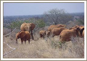 Ndara is discouraged from fratinising too closely with a wild herd's babies