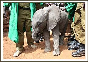 Our tiny new comer attracts great interest from our Elephant Keepers