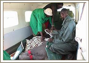 The rescued calf is strapped down in the plane.jpg