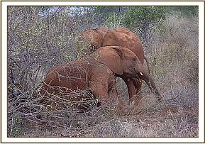 Morani and Mpala plaing in the bush