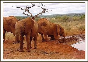 Female ♀ African Bush elephant (<em>Loxodonta africana</em>) Edie at Tsavo National Park