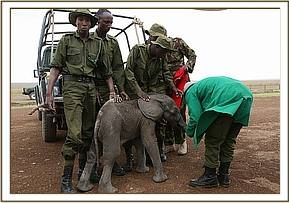 The calf with the keepers and rescuers