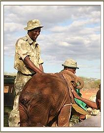 The calf was transported in the back of the KWS vehicle.