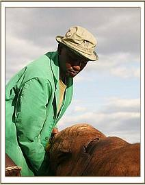 The chunk out of Kilaguni's ear is evident in this photograph.
