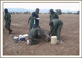 The immobilized calf's wound is examined