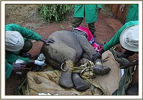 Sana Sana wird in ihr Gehege gebracht, und die Wunden werden behandelt