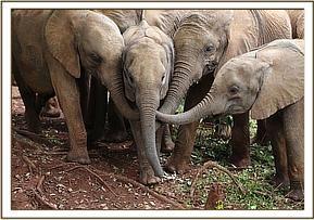 Sana Sana umgeben von den anderen Waisenelefanten