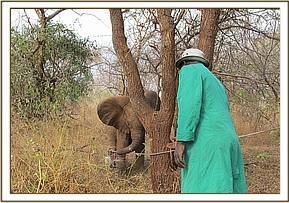 DSWT Keepers approach the small calf