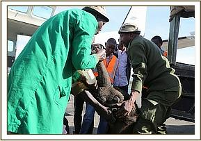 The calf is offloaded from the vehicle
